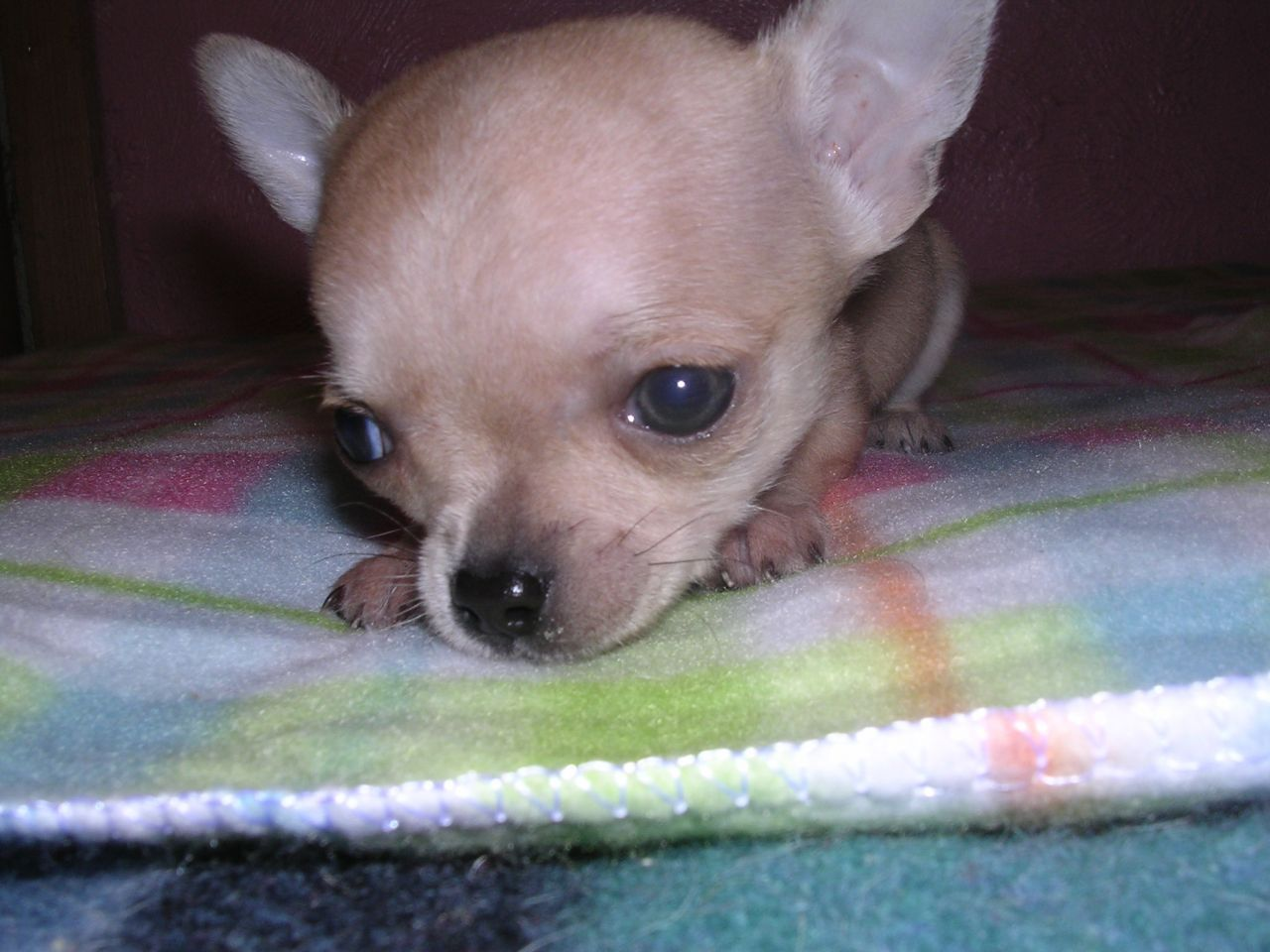 Teacup Male Chihuahua Puppy Smoothcoat Slough Berkshire Pets4homes Chihuahua Puppies Teacup Chihuahua Teacup Chihuahua Puppies