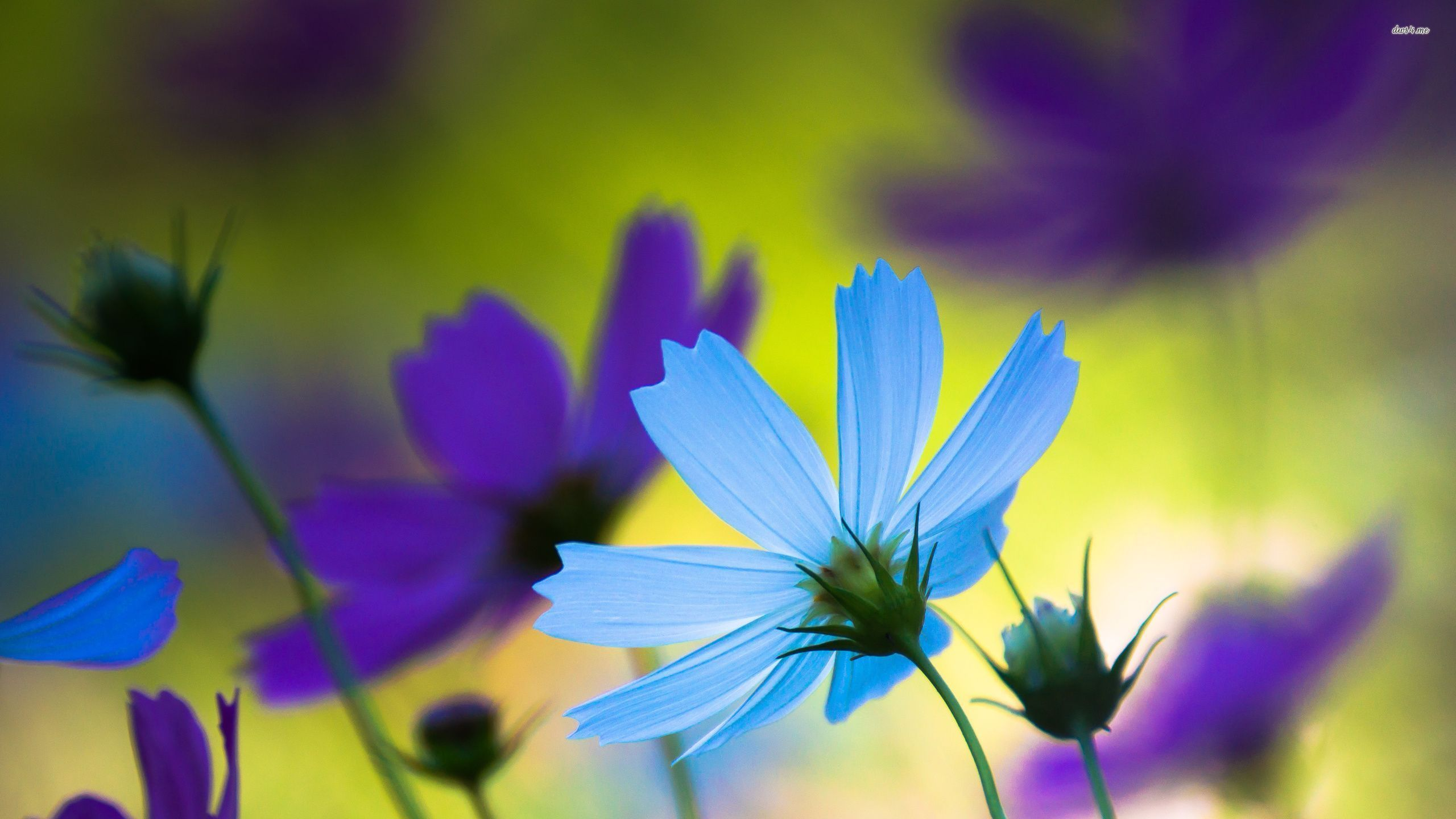 blue cosmo flowers Google Search Cosmos flowers, Blue