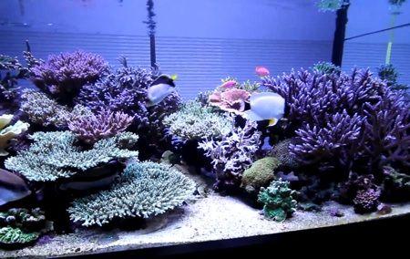 Reef designs genicanthus personatus japanese reef tank reef reef designs genicanthus personatus japanese reef tank reef video juvi personatus voltagebd Images