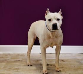 W1c33 1 17 Sally Is An Adoptable American Bulldog Dog In Muskegon