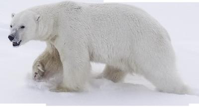Informing The Usfws Polar Bear Recovery Team Of The Usgs Changing Arctic Ecosystem Initiative Alaska Science Center Polar Bear Bear Polar
