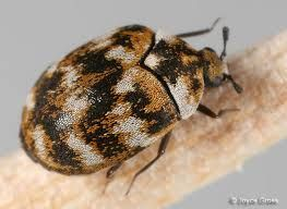 Carpet Beetles Thrive In Homes Museums Warehouses And Other Places Where Food Exists The Young Beetles Look Like Tiny Hai Beetle Carpet Bugs Insect Species