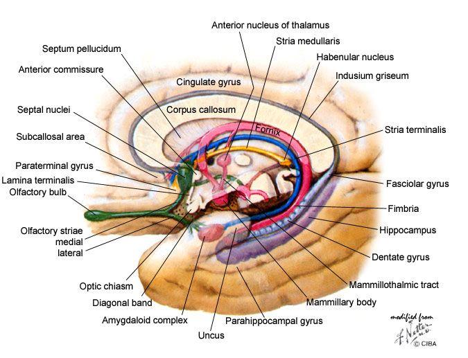Limbic System | Neuroanatomy | Pinterest | Brain and Neuroscience