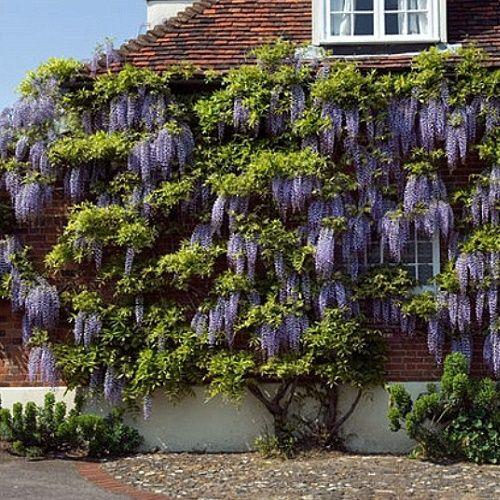 die besten 25 wisteria sinensis ideen auf pinterest wisteria trellis blauregen und. Black Bedroom Furniture Sets. Home Design Ideas