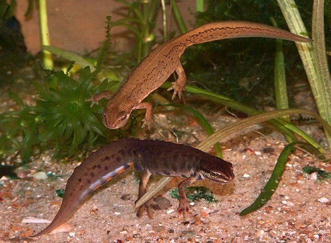 Marvelous The Smooth Newt (Common Newt) Is The Most Widespread Of Native Newts, In  Britain. Found In Ponds, Ditches And Often Garden Ponds. Both Sexes Grow To  Between ...