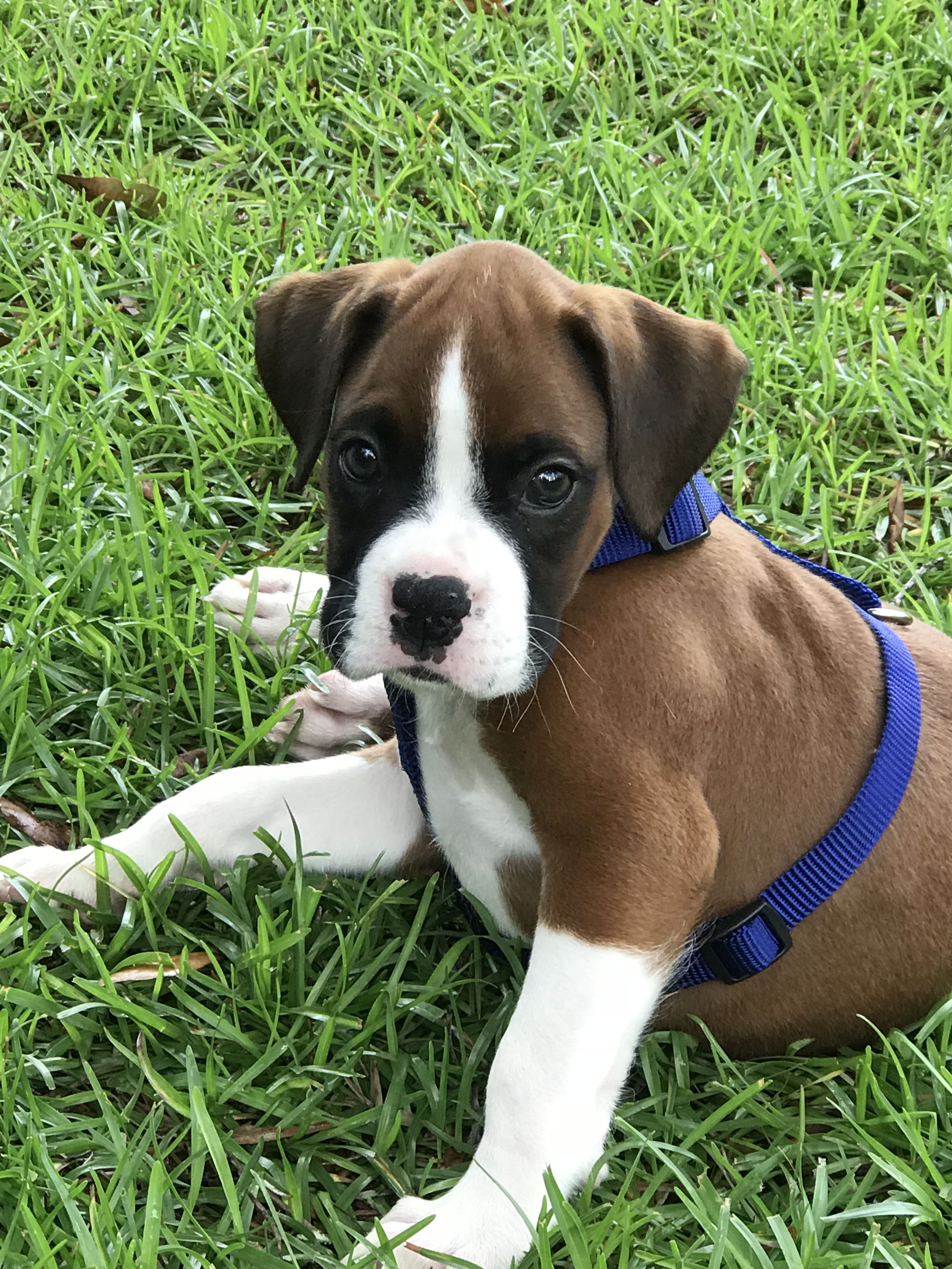 Pin On Boxer Puppies