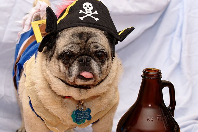 Talk Like A Pirate Pug Snort Pugs Pugs In Costume Pet