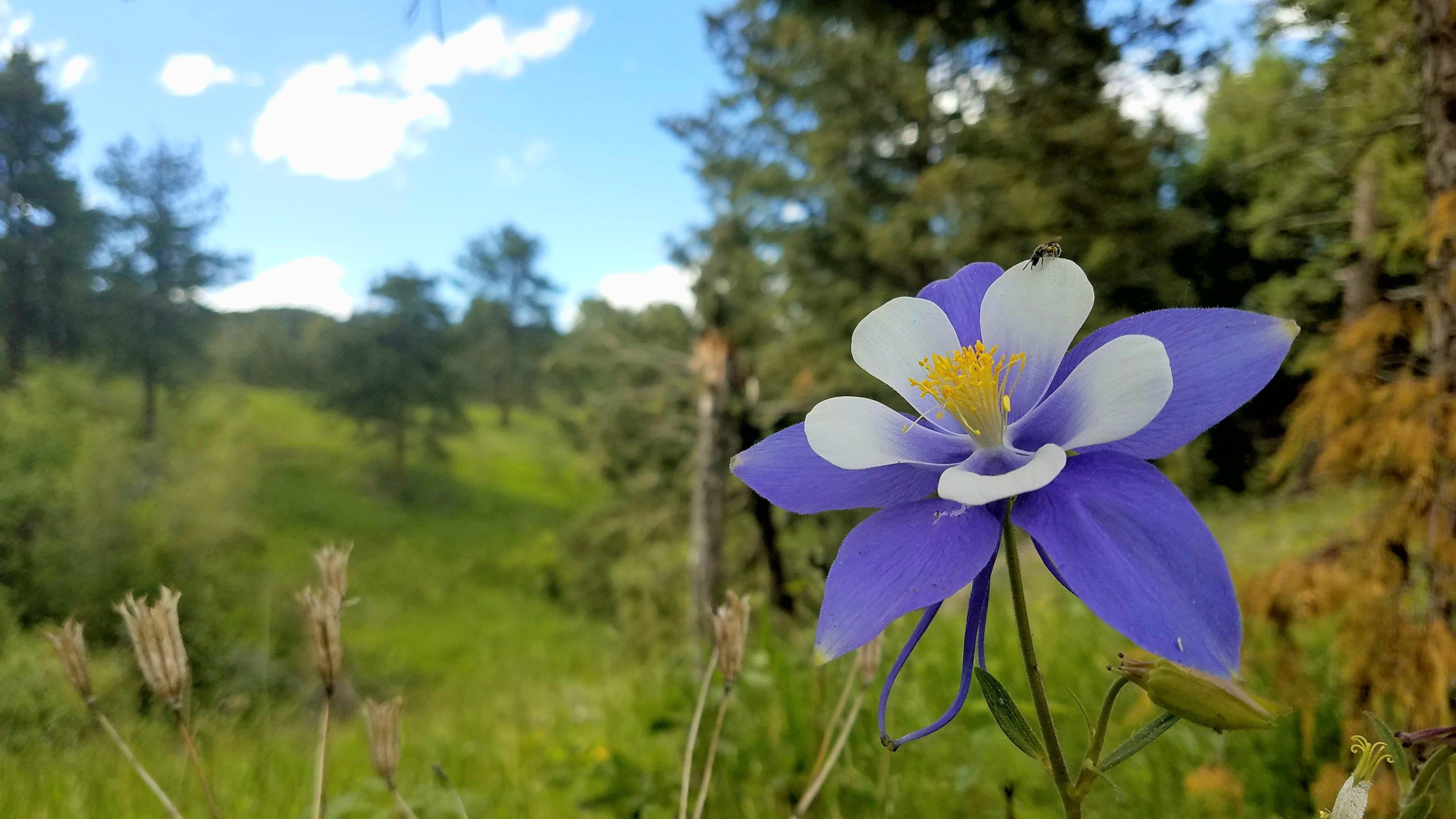 The columbine flower colorado usas state flower growing in its the columbine flower colorado usas state flower growing in its wild habitat 40322068 izmirmasajfo