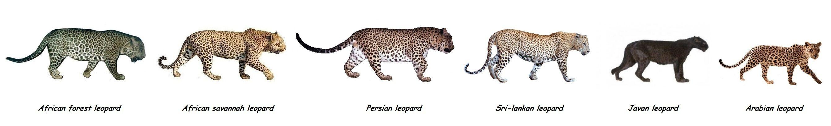 leopard and jaguar comparison - photo #20