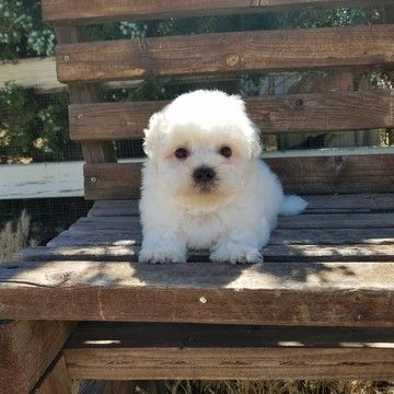 Maltipoo puppy for sale in LOS ANGELES, CA. ADN37538 on