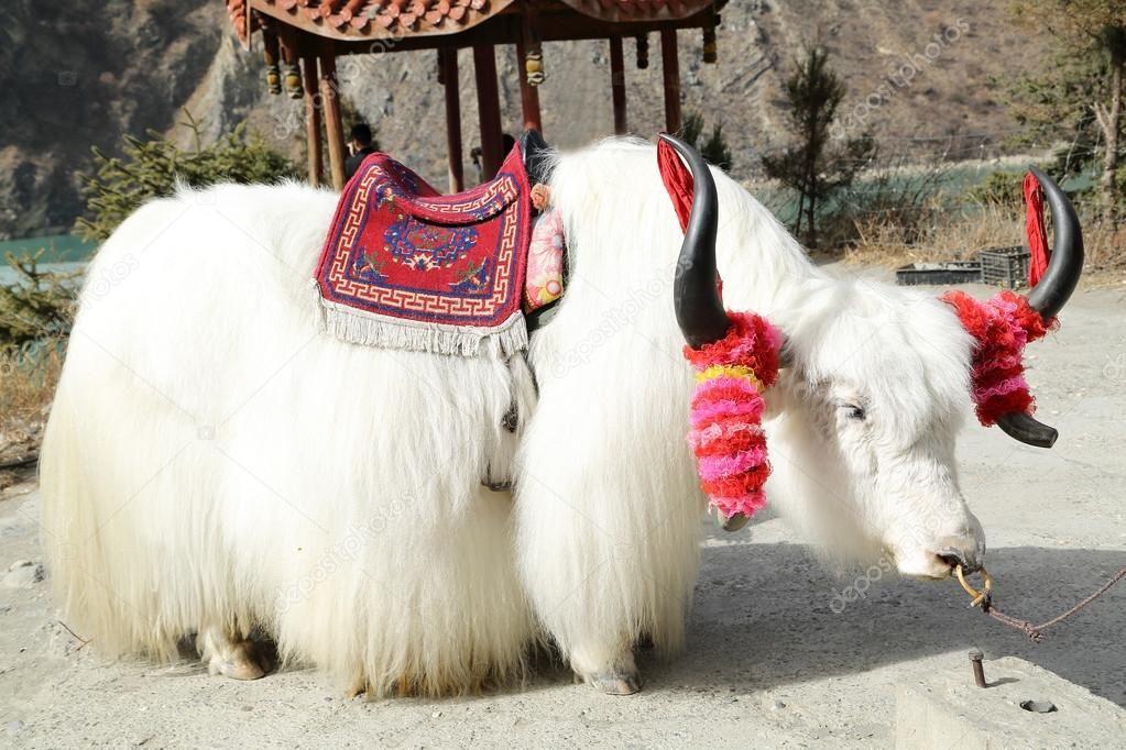 白牦牛为客户坐在中国国家公园 most beautiful animals animals beautiful cute animals