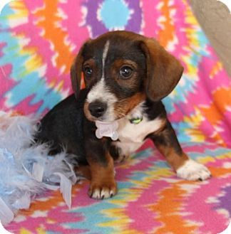 I M Basil A 2 Month Old Male Dachshund Mix I Weigh About 5 Lbs