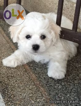 Champion Line Bichon Frise Puppies For Sale Bichon Frise Puppy