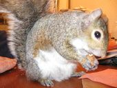 Nuts In The Shell Nuts in the shell are important nutrition for squirrels and help them satisfy their gnawing needs! Natural nuts in their shells provide good chewing exercise and provide essential...