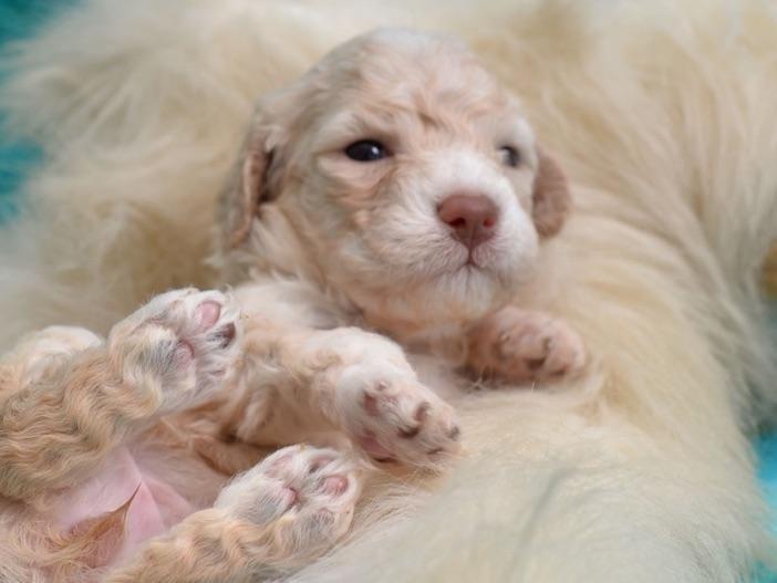 Lagotto Lady Kennels Llc Lagotto Romagnolo Puppies For Sale Lagotto Romagnolo Puppy Lagotto Romagnolo Puppies
