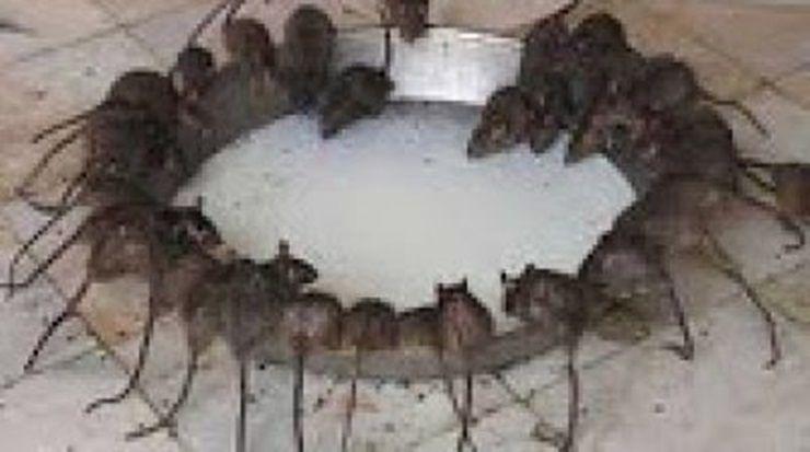 Los ratones desaparecer n en manada si le preparas eso y - Como matar ratones ...