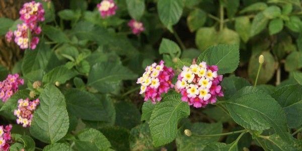 Lantana Garden Plants Flowers