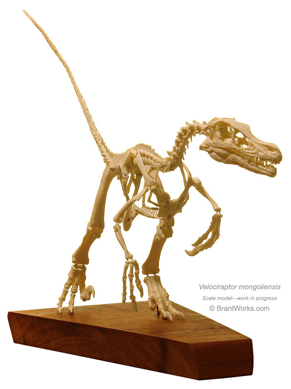 Vitamin Imagination - Velociraptor skeleton by.Vitamin ... |Velociraptor Skull Front