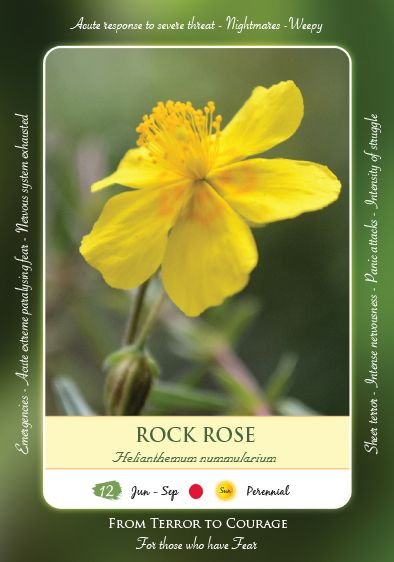 Bach Flower Remedy Rock Rose Bach Flowers Bach Flower Remedies Flower Remedy