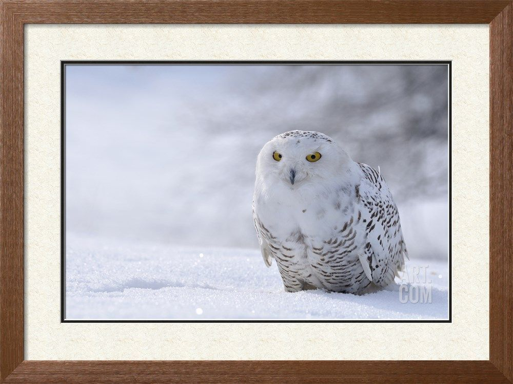 Snowy Owl Sitting on the Snow Photographic Print by ...