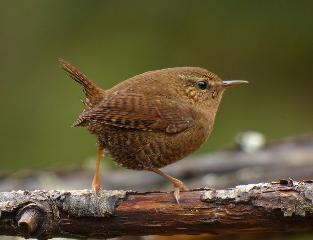 Winter Wren: The Winter Wren sometimes builds several nests in a single breeding season. Nests are used for roosting or for repeated breeding attempts.