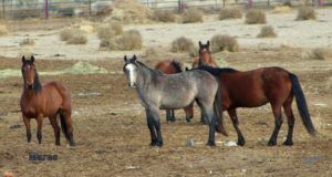 Photos of Modoc wild horse roundup by Kimberly Baker: