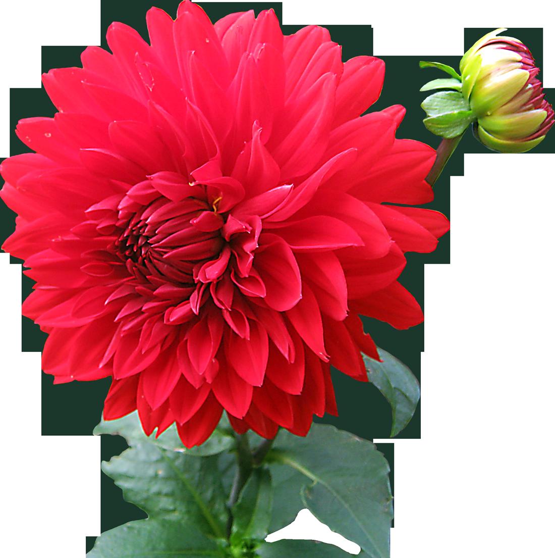 Dahlia Flower Png Image Flower Images Flower Images Hd Flower Png Images