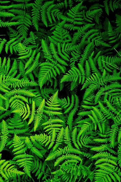 Forest Ferns by Jack Sasson