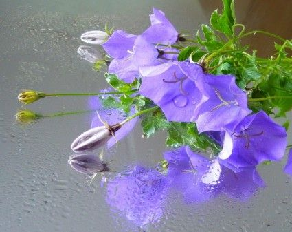 Campanula Bellflower Reflections Free Photos For Free Download Flower Images Flower Images Free Weekend Images