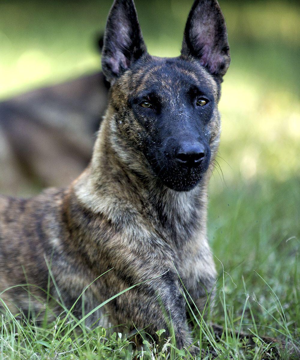 Dutch Shepherd Malinois puppies, Malinois puppies for