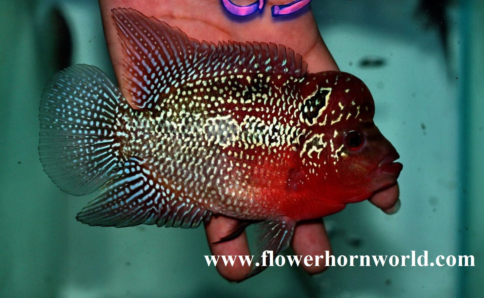 Pin by thaiFH.com on Current stock - Flowerhorn fish for sale www ...
