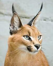 Tigres-leones-felinos......