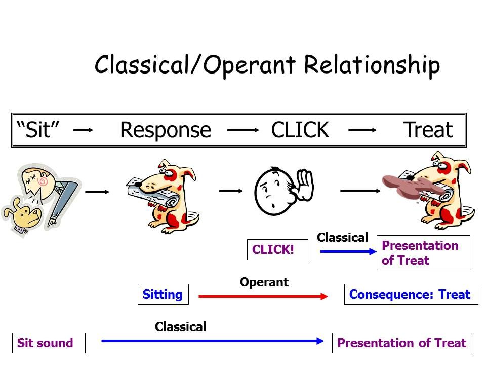 classical v operant conditioning Also, classical conditioning always works with involuntary responses, while operant conditioning works with voluntary behaviors extinction, an extinction burst, spontaneous recovery, and stimulus generalization are different phenomena that can occur.