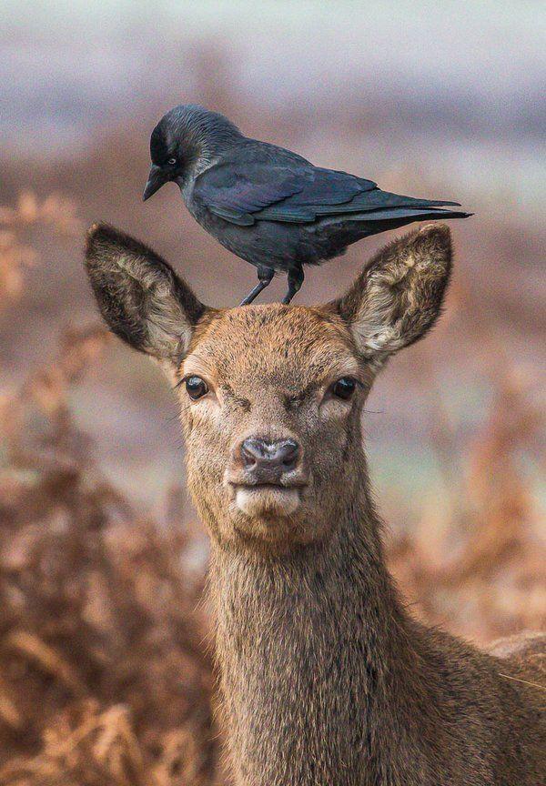 Deer and Jackdaw by Andrew Locking Deer, Animals wild