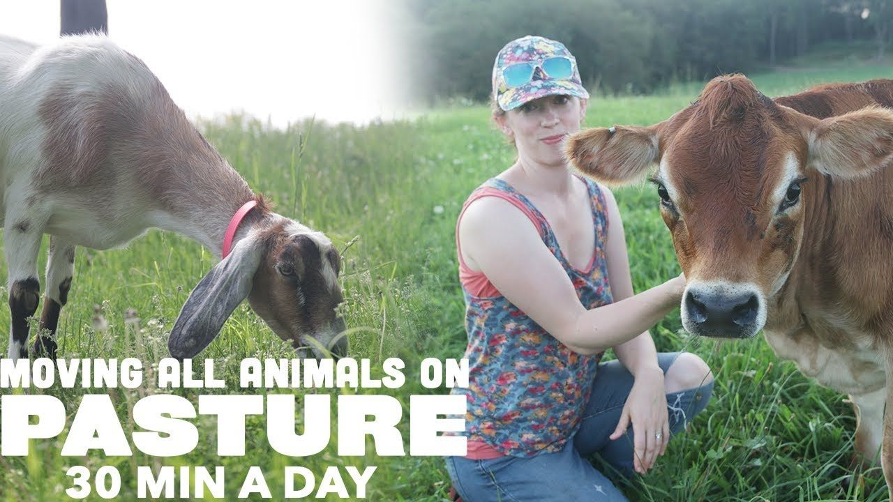 MOVING GOATS, COWS and CHICKENS DAILY ON PASTURE in 30 MIN