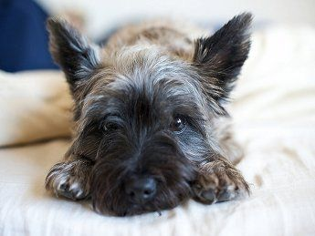 Cairn Terrier He Looks Just Like My Sparky With Images Cairn