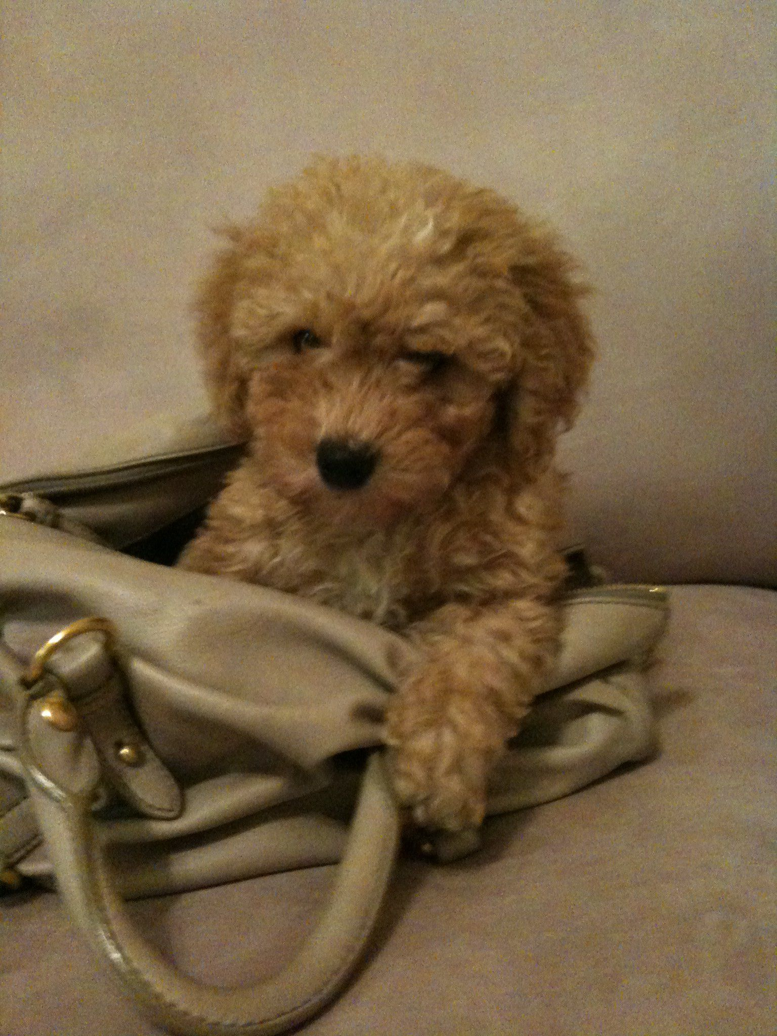 Our New Puppy Poodle Copper Named After Fox And The Hound New