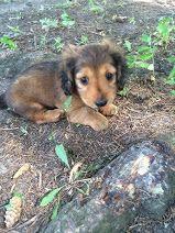 Cute mini dachshund puppy