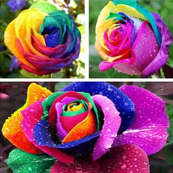 10 Colorful Rose Flower Seeds