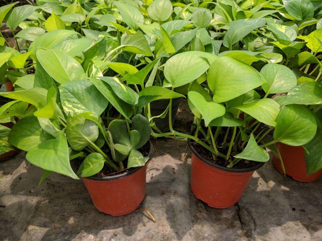 Efeutute Kaufen Ratgeber Empfehlenswerte Bezugsquellen Plantura Efeutute Zimmerpflanzen Winterharte Pflanzen