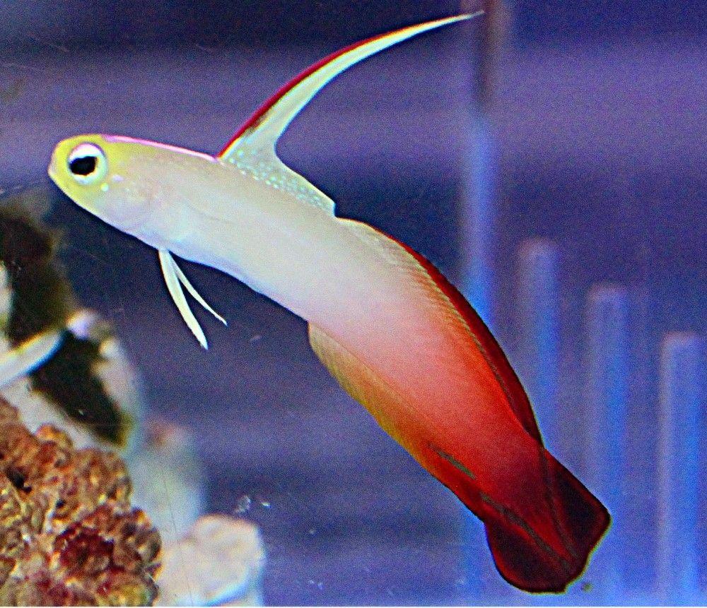 Firefish Goby One Of My Favorites Vissen Aquarium