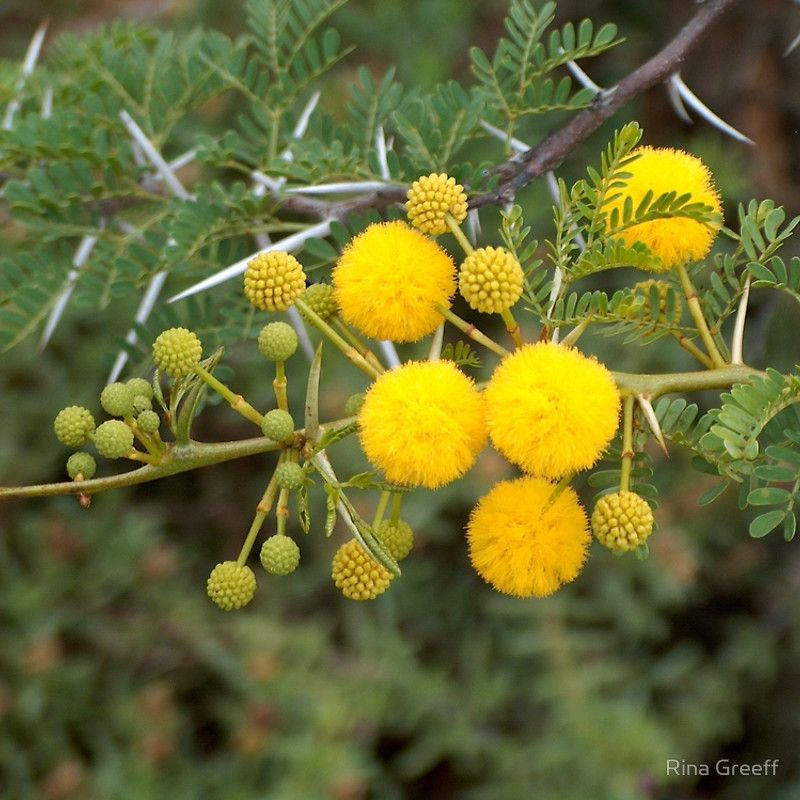The Beautiful Flower Of The Soetdoring Boom This Thorn Tree Is Indigenous To South Africa And Seen All Aro South African Flowers African Plants Acacia Tree
