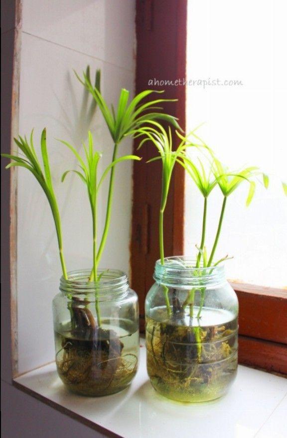 No Soil Indoor Plants | Money plant, Houseplants and Plants