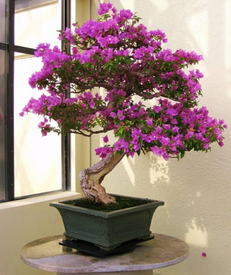 arbuste m diterran en qui respire l exotisme bougainvillier bonza pinterest bonsa s. Black Bedroom Furniture Sets. Home Design Ideas