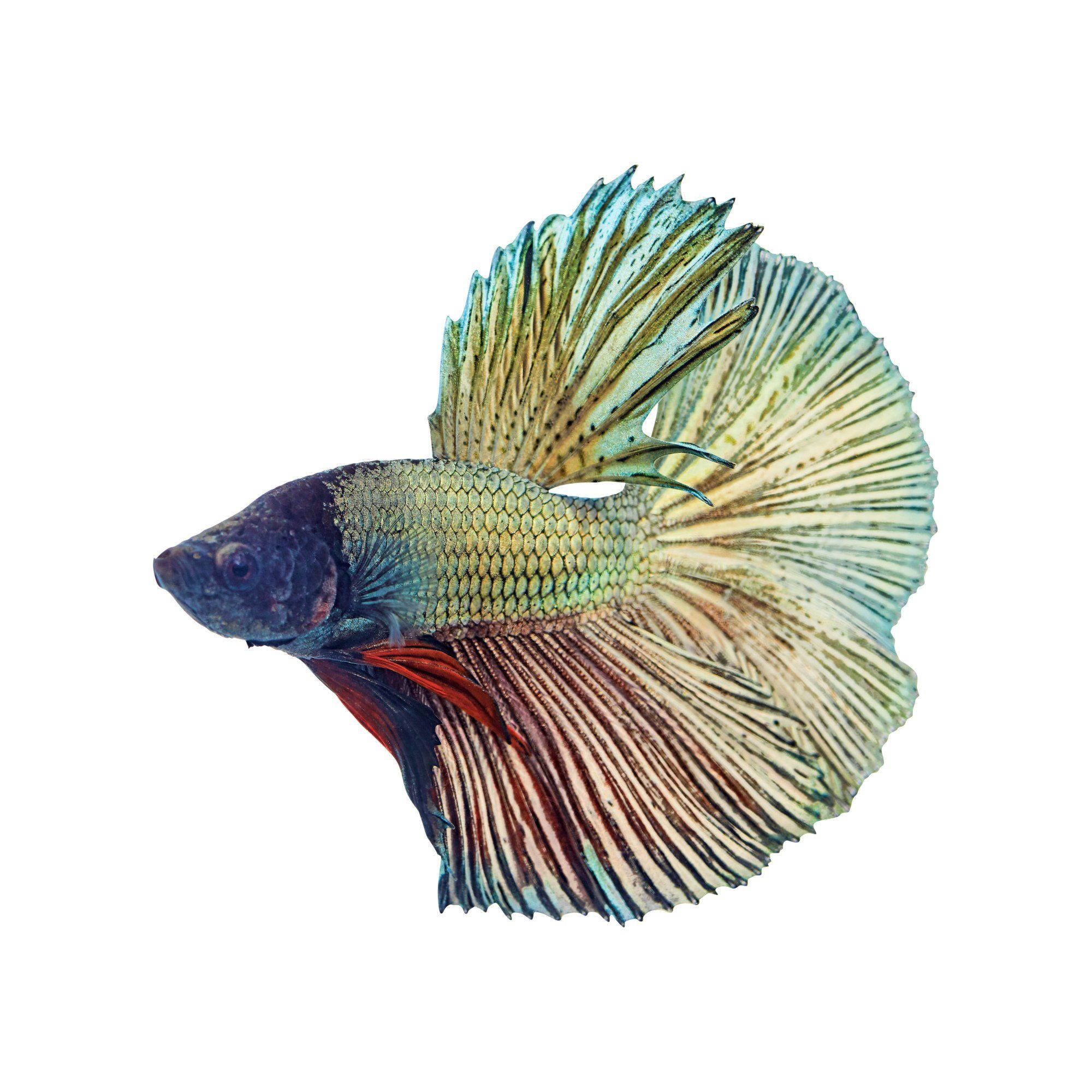 Male Copper Bettas For Sale Order Online Petco Betta Betta Fish Petco
