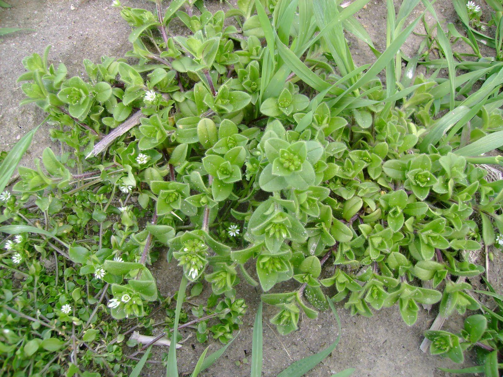 Weeds in flower beds identify - Weeds In Flower Beds Identify 44