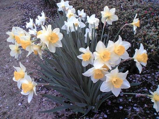 Gardens Of Japan Narcissus Or Daffodils In March Daffodils Spring Flowering Bulbs Narcissus