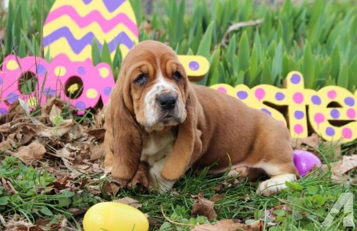 Adorable Basset Hound Puppies | In memory of Penny 2007-2016