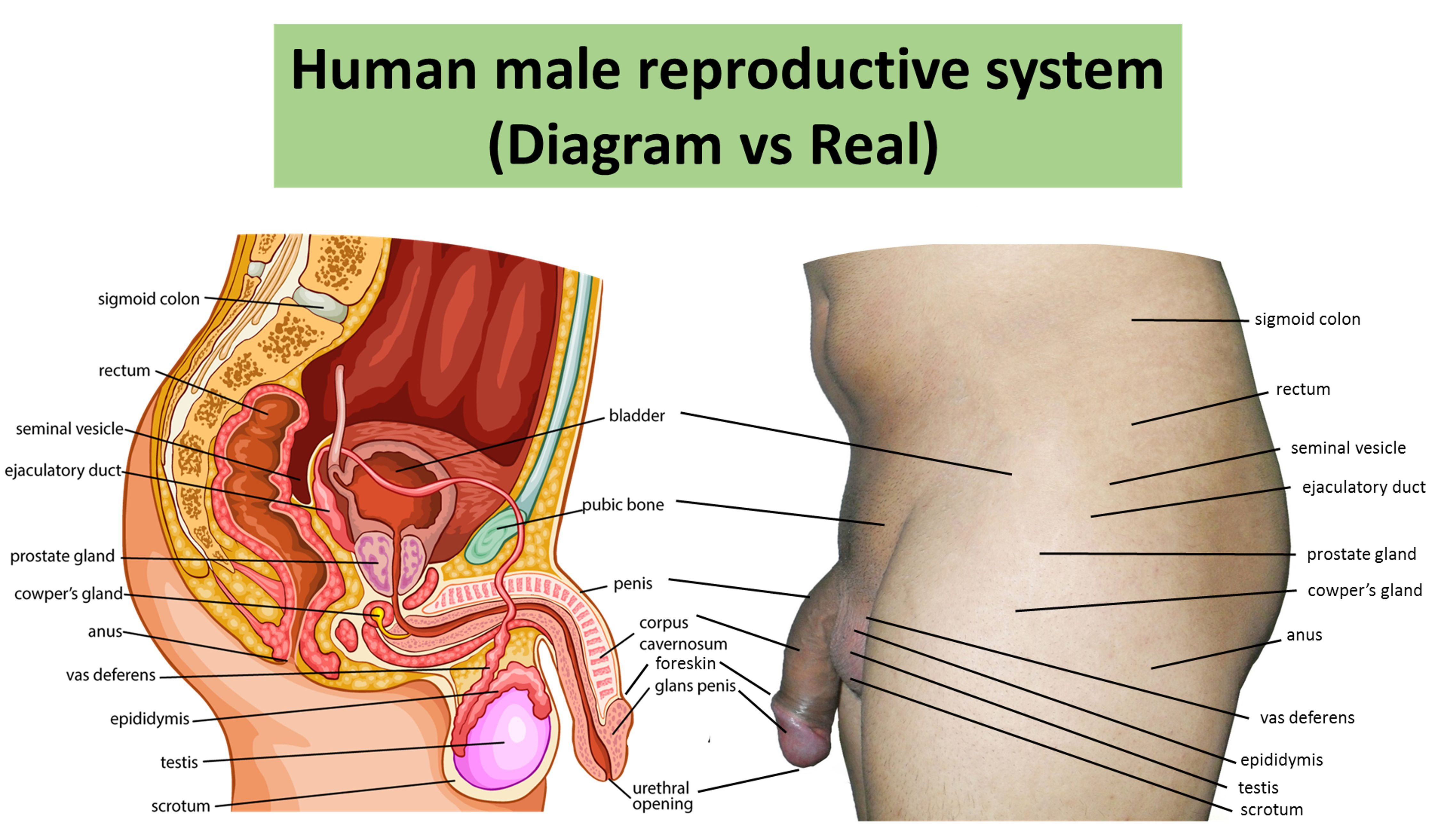Real Female Reproductive Organs Tollebild