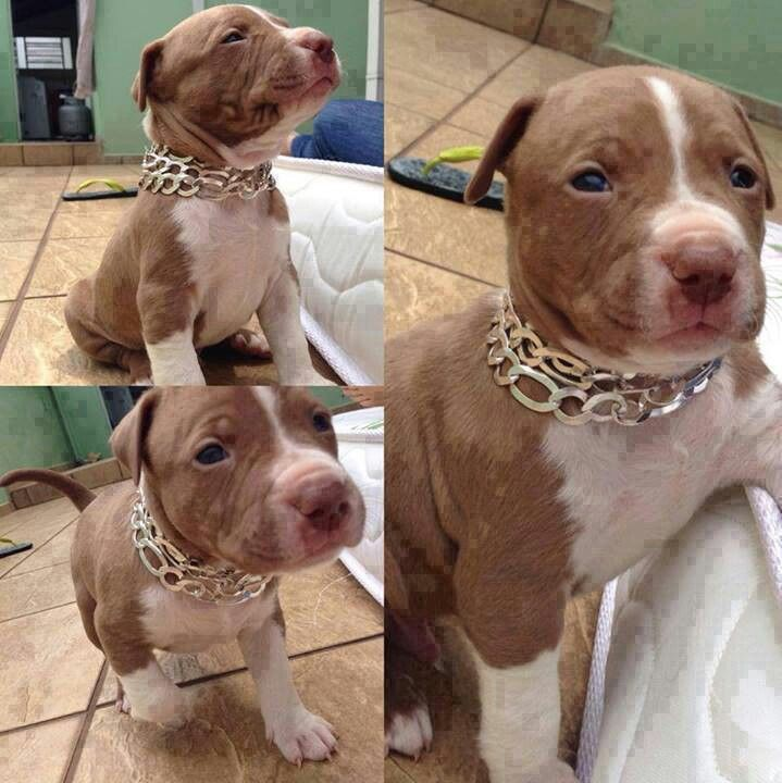 Awesome Brown White Red Nose Pitbull Puppy With Images
